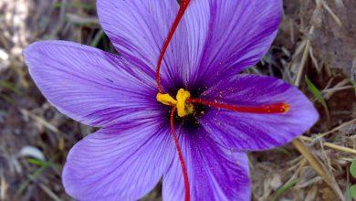 تصویر از خواص زعفران برای افسردگی، سرطان، قاعدگی، میل جنسی و قند خون