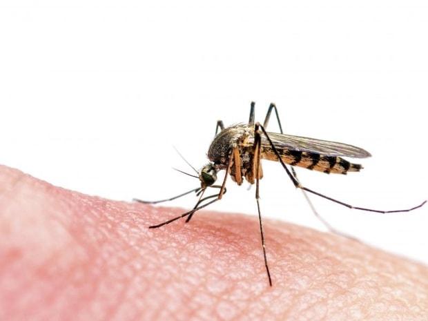 عکس پشه ی مالاریا