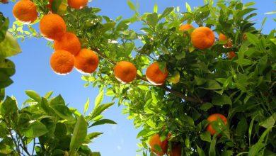 تصویر از خواص نارنج برای پوست و مو، جوش صورت، معده، لاغری، قلب و کم خونی