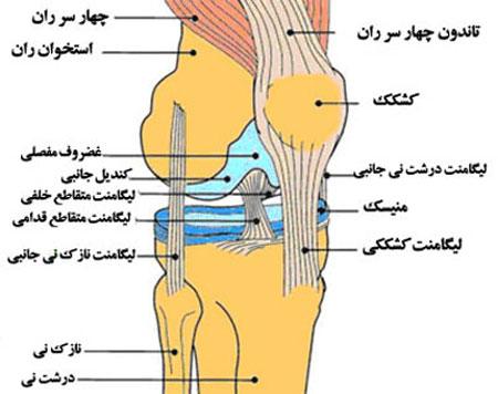 آناتومی زانو