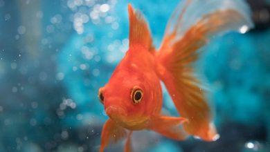 تصویر از شرایط نگهداری از ماهی قرمز هفت سین