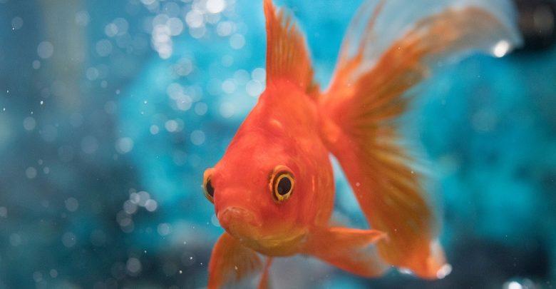 نگهداری از ماهی قرمز