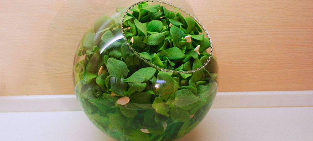 سبزه تخم کدو حلوایی