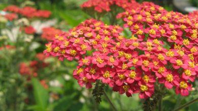 تصویر از بومادران | خواص و عوارض جانبی گیاه بومادران