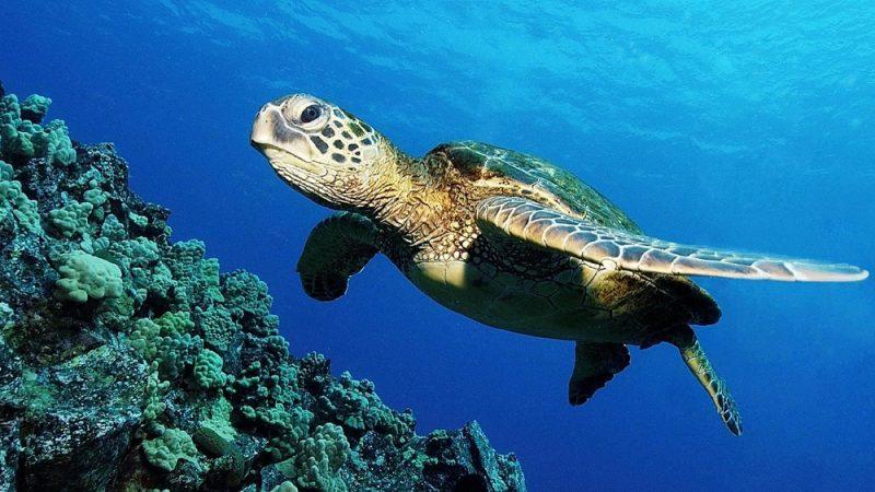 لاکپشتهای دریایی کیش