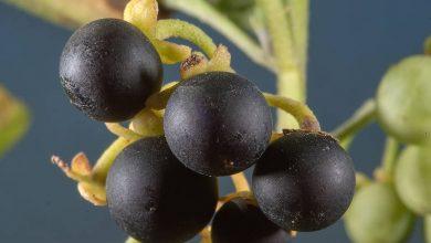 تصویر از تمام خواص گیاه تاجریزی + طریقه مصرف آن