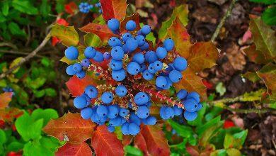تصویر از انگور اورگن چیست؟، خواص دارویی گیاه انگور اورگن