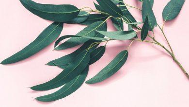 تصویر از خواص اکالیپتوس برای پوست و مو، ریه، سرماخوردگی + عوارض جانبی