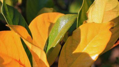 زرد شدن برگ گل و گياهان