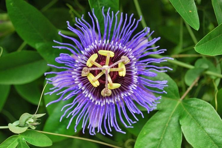گیاه گل شور