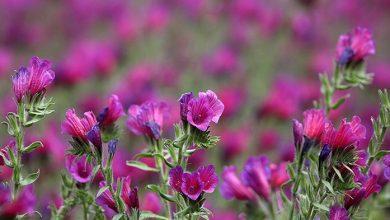 تصویر از خواص گل گاوزبان؛ طرز تهیه دمنوش آن