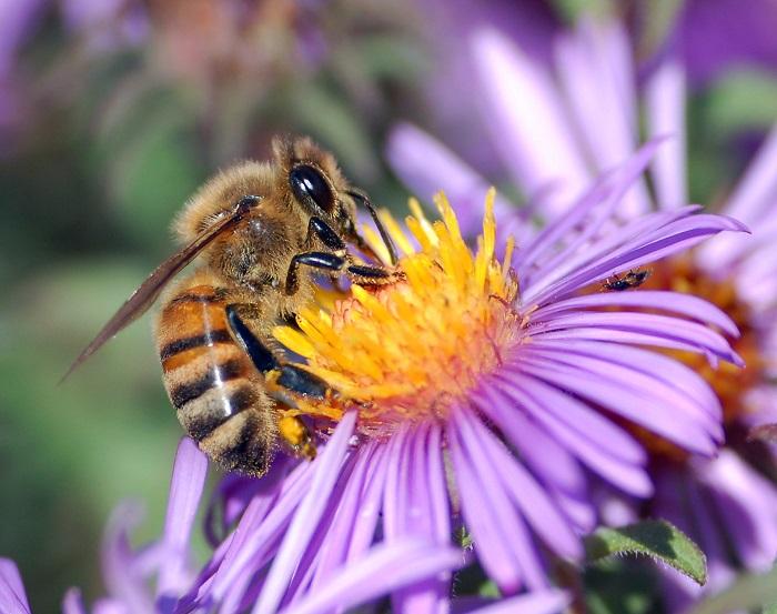 گرده گل - زنبور عسل