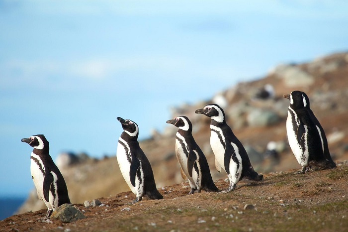 پنگوئنها در شیلی