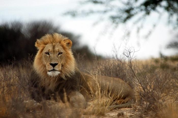 پارک شیر (Lion Park) در آفریقای جنوبی