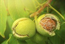 برگ گردو چه خواصی دارد