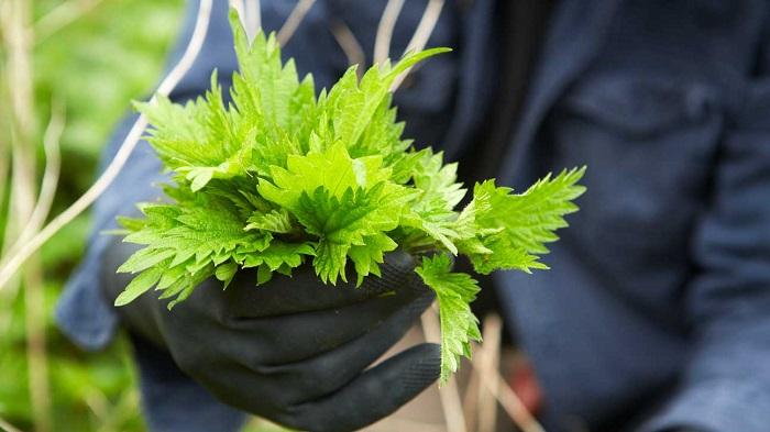 گیاه گزنه چه خواصی دارد