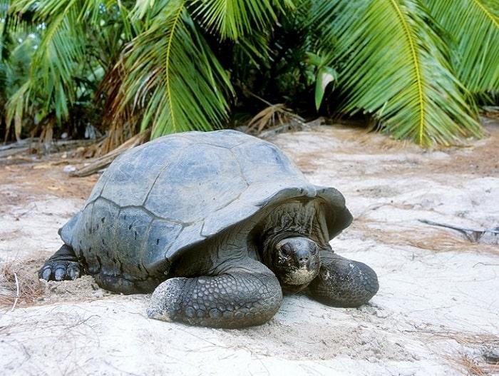لاک پشت غول پیکر در جزیره کوریوز