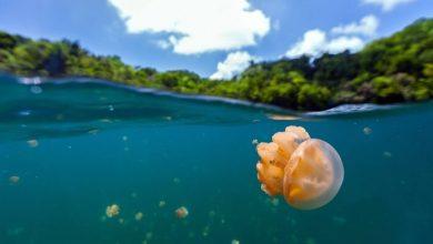دریاچه عروس های دریایی در کشور پالائو